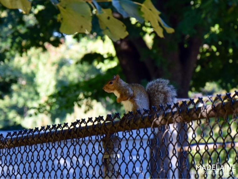 Eichhörnchen Boston